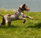 Free Photo - Slovakian Pointer