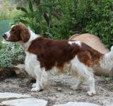 Free Photo - Welsh Springer