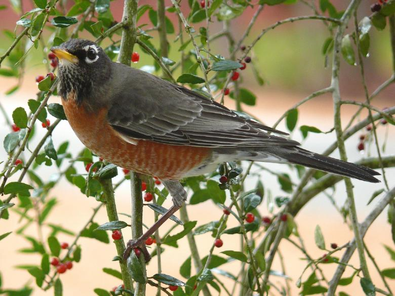 Free Stock Photo of American Robin Created by Pixabay