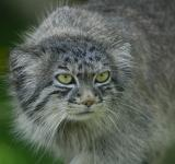 Free Photo - Pallas Cat