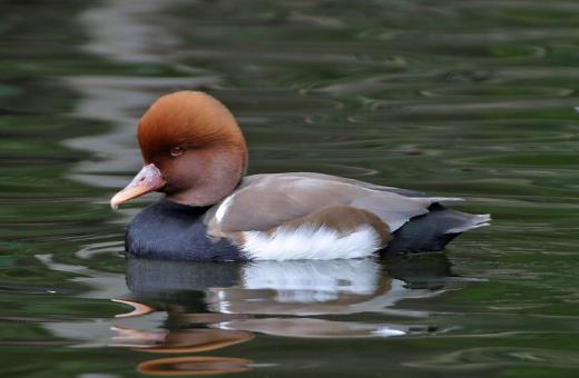 Red Crested Pochard - Free Stock Photo