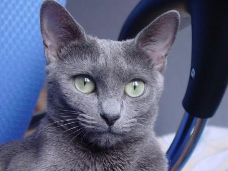 Russian Blue Cat - Free Stock Photo