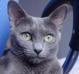 Free Photo - Russian Blue Cat