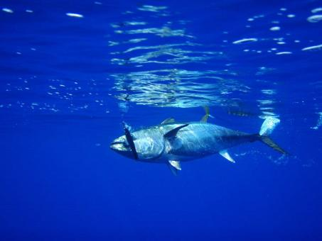 Tuna - Free Stock Photo