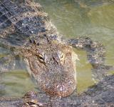 Free Photo - Alligator in the River