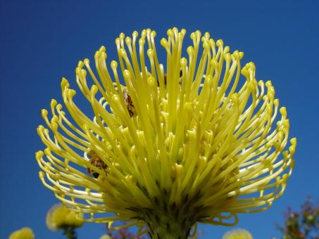 Golden Banksia - Free Stock Photo