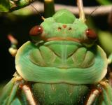 Free Photo - Green Grocer Cicada