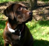 Free Photo - Labrador Retriever