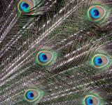Free Photo - Peacock Feathers