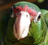 Free Photo - Puerto Rican Parrot