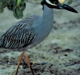 Free Photo - Yellow Crowned Heron