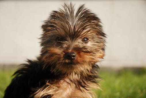 Yorkshire Terrier - Free Stock Photo