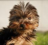 Free Photo - Yorkshire Terrier