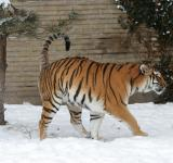 Free Photo - Adult Tiger