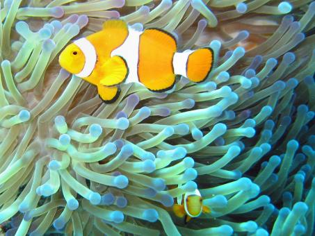Clownfish - Free Stock Photo