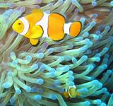 Free Photo - Clownfish