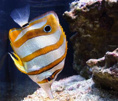 Copperband Butterflyfish - Free Stock Photo