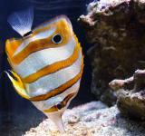 Free Photo - Copperband Butterflyfish