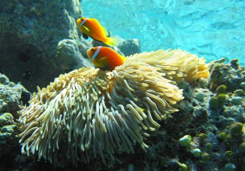Anemonefish - Free Stock Photo