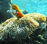Free Photo - Anemonefish