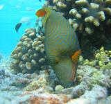 Free Photo - Orange Lined Triggerfish