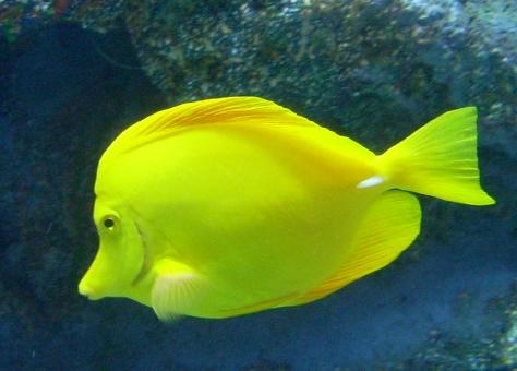 Yellow Tang - Free Stock Photo