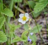 Free Photo - Wild Strawberry Plant Blossom