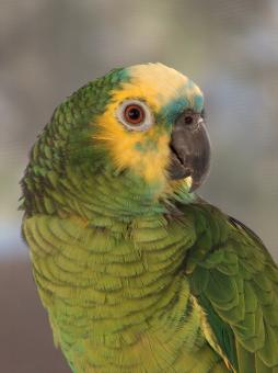 Amazon Blue Front Parrot - Free Stock Photo
