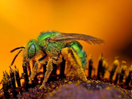 Bee Closeup - Free Stock Photo