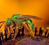 Free Photo - Bee Closeup