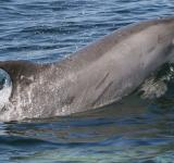 Free Photo - Bottlenose Dolphin