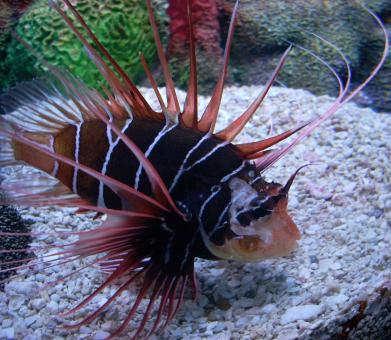 Clearfin Lion Fish - Free Stock Photo