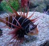 Free Photo - Clearfin Lion Fish