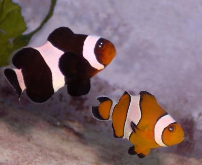 Clown Fish - Free Stock Photo