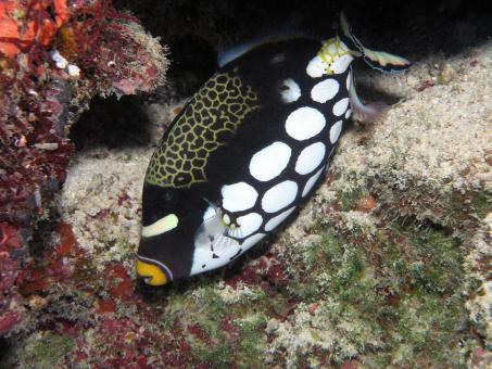 Clown Triggerfish - Free Stock Photo