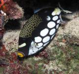 Free Photo - Clown Triggerfish