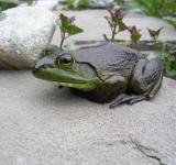 Free Photo - Frog on the Rock