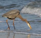 Free Photo - Great Blue Heron