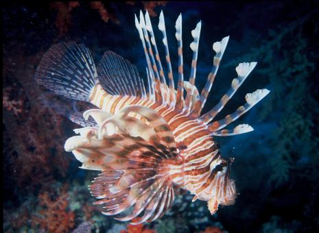 Lion Fish - Free Stock Photo