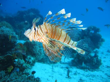 Lionfish in the Sea - Free Stock Photo