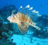 Free Photo - Lionfish in the Sea
