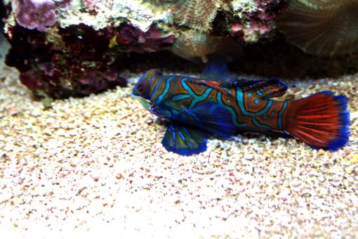 Mandarin Fish - Free Stock Photo