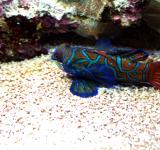 Free Photo - Mandarin Fish