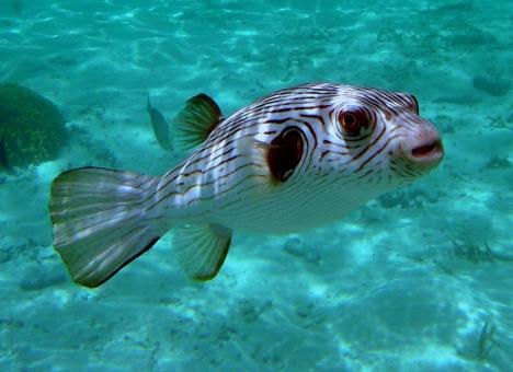 Narrow Lined Puffer - Free Stock Photo