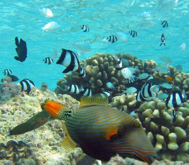 Orange Lined Triggerfish - Free Stock Photo