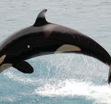 Free Photo - Orca Diving in the Sea
