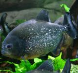 Free Photo - Piranha in the Ocean
