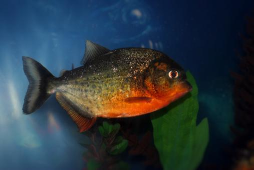 Piranha in the Ocean - Free Stock Photo