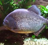 Free Photo - Piranha in the River