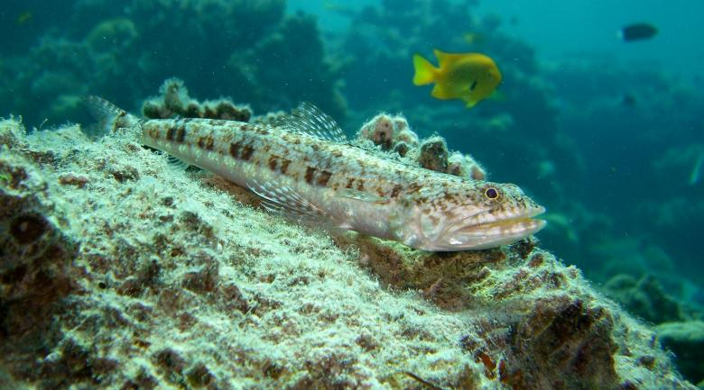 Free Stock Photo of Variegated Lizardfish Created by Pixabay
